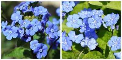 Цветки бруннеры и пупочника крупным планом