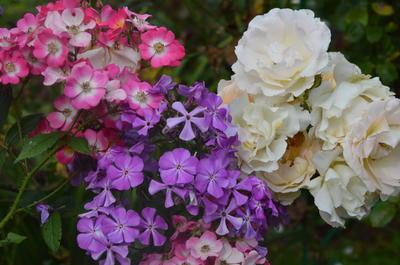 Пример удачного соседства. Мускусная роза Mozart, похожая на флокс, и шраб Rokoko с флоксом Синеющий Гаганова. Фото автора