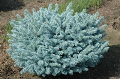 Picea pungens Glauca Globosa. Фото сайта pmsad-ekb.ru