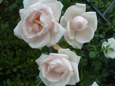 Плетистую розу сорт New Dawn можно использовать в качестве почвопокровной