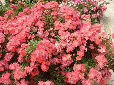 Цветочный ковер из почвопокровной розы сорт Concerto