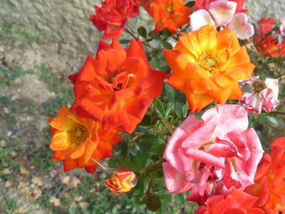 Миниатюрная роза сорт Sunmaid при отцветании меняет окраску цветков