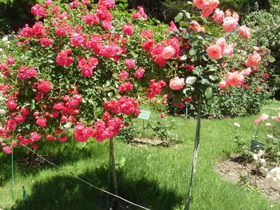 Две штамбовые розы