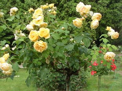 Штамбовая роза сорт Graham Thomas – настоящая английская аристократка дачи