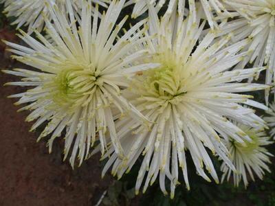 Хризантема садовая сорт Anastasia Star White