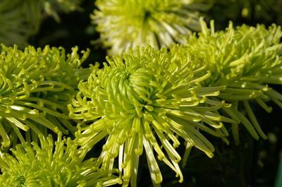 Хризантема садовая сорт Anastasia Green
