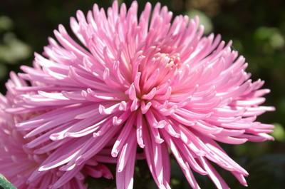 Хризантема садовая сорт Anastasia Pink