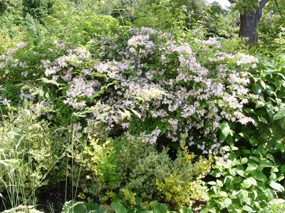 Кольквиция в цветении не затеряется среди остальных кустарников