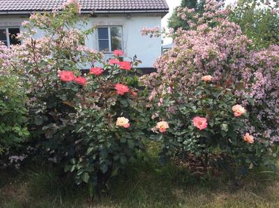 Кольквиция с розами, фото сайтаdachniiotvet.galaktikalife.ru
