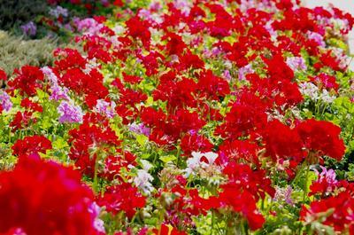 Цветение пеларгонии в открытом грунте