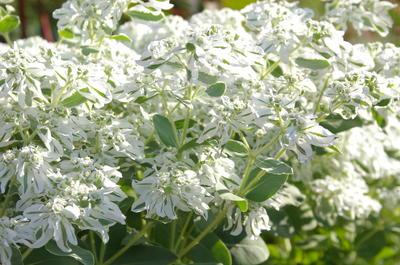 Семена молочая окаймленного высевайте поздней осенью