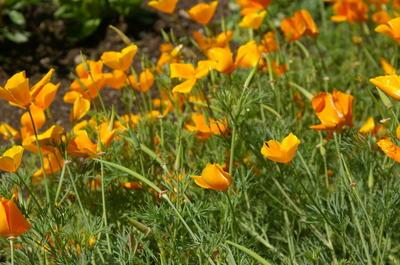 Семена эшшольции калифорнийской можно высевать под зиму