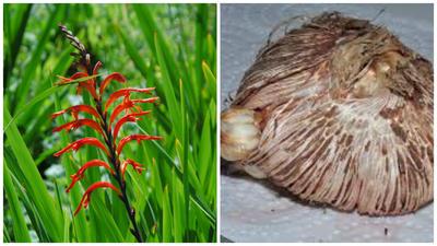 Хазманта обильноцветущая. Фото с сайта pacificbulbsociety.org. Материнская и дочерняя луковицы. Фото с сайта tcf.bh.cornell.edu