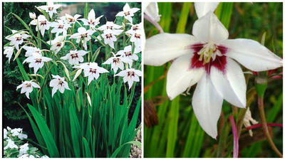 Ацидантера. Фото с сайта youtube.com. Цветок крупным планом. Фото с сайта ru.pinterest.com