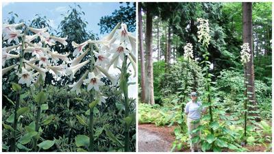Кардиокринум гигантский. Фото с сайта thompson-morgan.com. Впечатляющий внешний вид. Фото с сайта rhodygarden.org