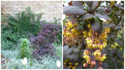 Барбарис обыкновенный Violaceae в композиции, фото автора. Он же, цветущий побег. Фото с сайта silingumedelynas.lt