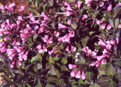 Вейгела цветущая Nana Purpurea. Фото с сайта gardenflorann.ru