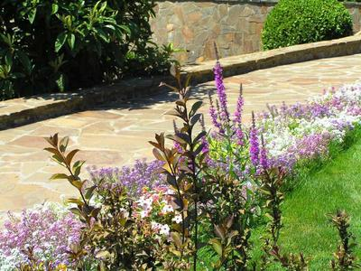 Вейгела цветущая Nana Purpurea на газоне,