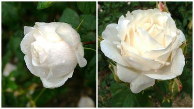 Роза садовая Белый Жемчуг, фото автора