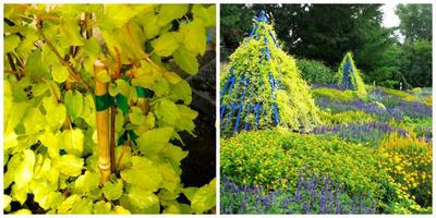 Горец Оберта Lemon Lace. Фото с сайта diggingdog.com. Она в садовом дизайне. Фото с сайта rotarygardens.blogspot.com