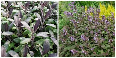 Шалфей лекарственный Purpurascens. Фото с сайта vivaipriola.com. Он в композиции. Фото с сайта garden-shopping.de