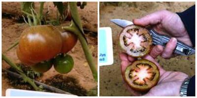 Томат Ашкелон F1 и его плоды в разрезе. Фото с сайта купить-семена-россия.рф.