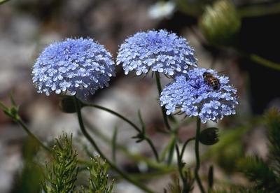 Дидискус голубой. Фото с сайта pbase.com