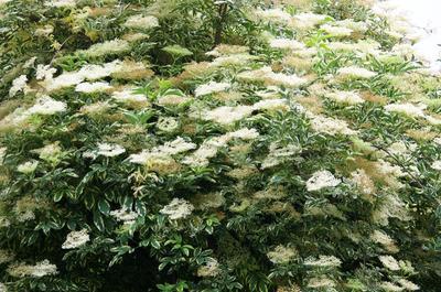 Бузина черная пестролистная в цветении