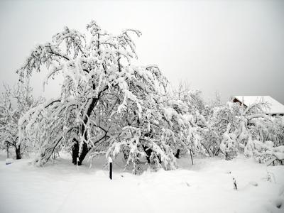 Сад под снегом