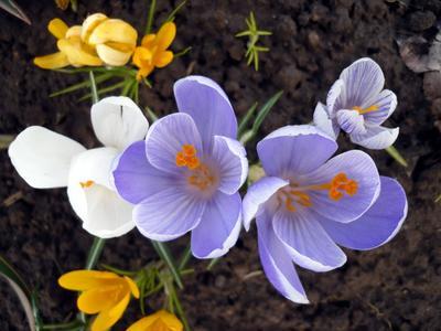 Ботанические крокусы зацветают раньше, зато гибридные крупнее