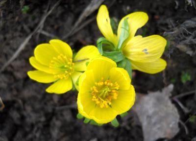 Солнечные цветки эрантиса дарят весеннее настроение