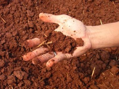Правильный состав почвы - важное условие благополучия луковичных
