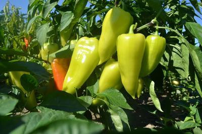 Для получения хорошего урожая перца нужны регулярные подкормки и поливы