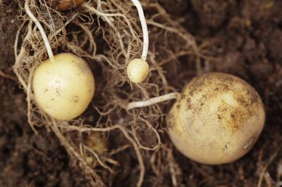 Картошина - это видоизмененный стебель, называемый клубнем
