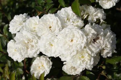 Махровые цветки покоряют изысканностью формы. Сорт 'Alba  Meillandecor' (Meilland, 1989)