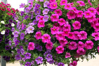 Калибрахоа 'Paradise'. Фото с сайта commons.hortipedia.com, автор Alfred Osterloh