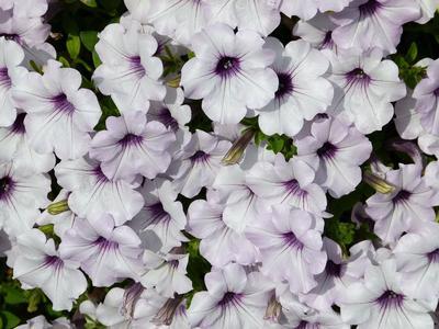 Минитунии - серия ампельных мелкоцветковых гибридов, устойчивых к дождю и ветру