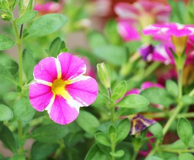 Мелкоцветковые петунии по-своему очаровательны