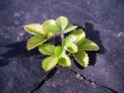Накрыв почву плотным непрозрачным материалом, мы осложним жизнь сорнякам. Фото автора