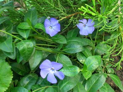 В традициях многих стран с этим цветком связаны печальные ассоциации