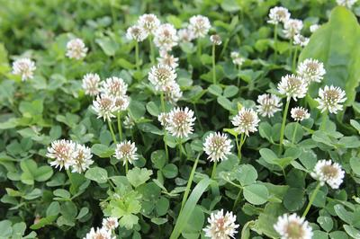 Клевер входит в состав многих цветочных газонных смесей