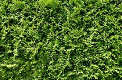 Если хотите видеть зеленую стену круглый год, придется все же потратиться на хвойные