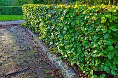 Со многими задачами живой изгороди успешно справляются лиственные породы деревьев и кустарников