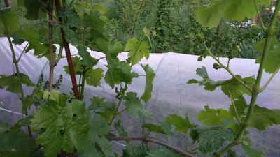 Молодая виноградная лоза. Фото автора