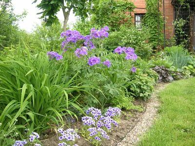 Герани - ценные растения для современного сада