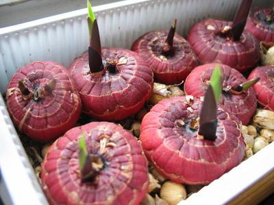 Здоровый посадочный материал и соблюдение агротехники - надежная профилактика болезней гладиолусов