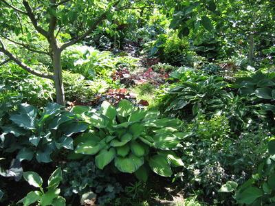 В саду, как и в дикой природе, хоста чувствует себя комфортно под пологом деревьев