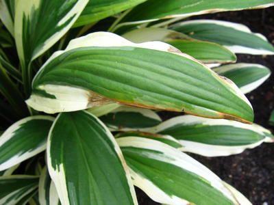 Выгорание контрастного окаймления - H.rectifolia 'Chionea'