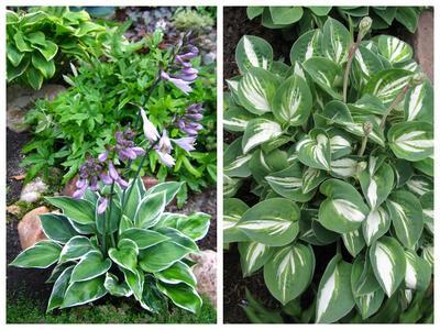 На фото слева: хоста-малышка 'Fair Maiden' капризна и не терпит тяжёлых глинистых почв; справа: миниатюрный сорт 'Pandora's Box' также капризен в выборе садовой почвы