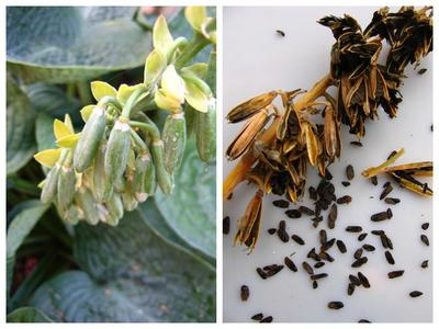 Слева - цветонос хосты с семенными коробочками; справа - высушенные семенные коробочки и семена